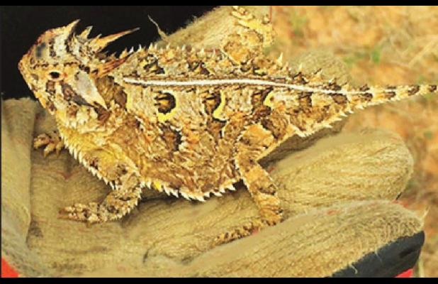 A REAL LIVE HORNED TOAD! ARE THEY BACK?