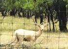 Fallow Deer near Carbon